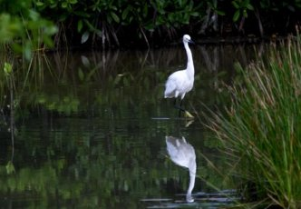 white bird at Graeme Hall swamp